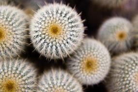 white spines of a cactus closeup