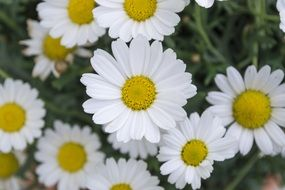 white meadow daisies