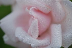 delicate pink rose bud and dew drops