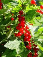 currants red currant berries fruit