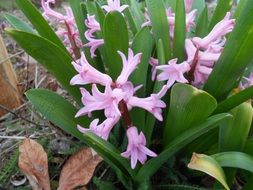 Purple hyacinth flowers