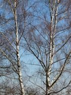 view of the blue sky through the trees of a birch grove