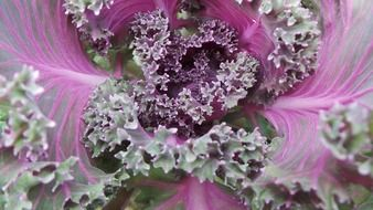 cabbage purple red
