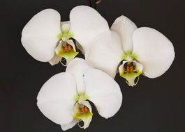 white orchid flowers on white background