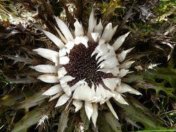 top view on a silver thistle flower with white petals