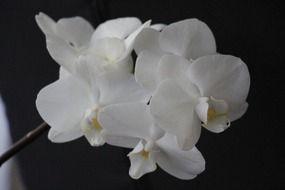 orchid flower blossom closeup