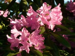 Azalea is a plant with pink flowers