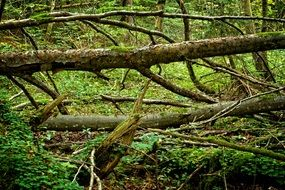 fallen tree in the forest after a storm