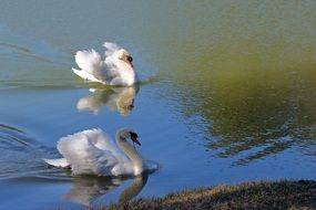 White swans in pond