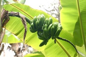 green bananas against a background of huge leaves in the glare of light