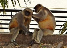 langur monkeys in India