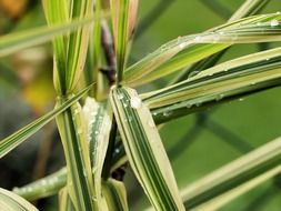 bamboo grass in water drops close up