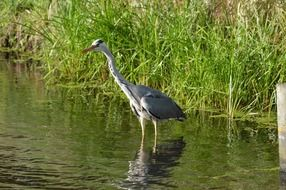 heron waterfowl bird