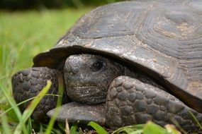 turtle in green grass portrait