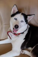 portrait of a husky with a red collar