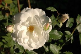 white rose flower in the garden