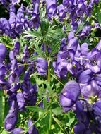 monkshood with blue flowers is a poisonous plant