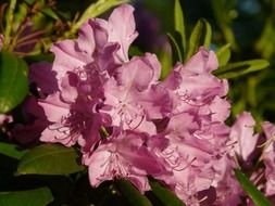 Rhododendron is a plant with colorful flowers