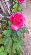 pink rose in Damascus