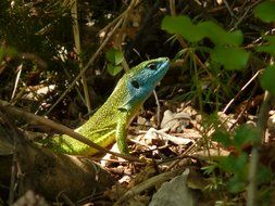 emerald lizard among the dry leaves