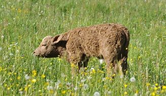 young calf in the meadow