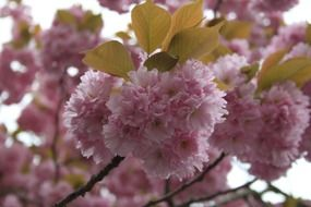 Pink japanese cherry trees