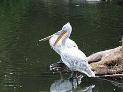 pelikan zoo water bird nature