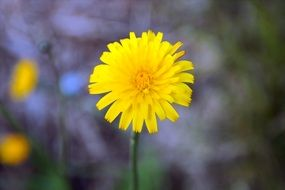 cute yellow dandelion