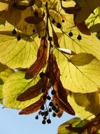leaves and seeds of linden against the blue autumn sky