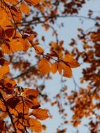 European beech on the background of the autumn sky