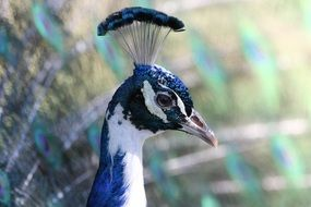 peacock with beautiful crest