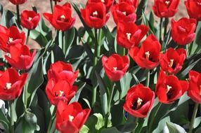 Flowerbed with red tulips in the park.