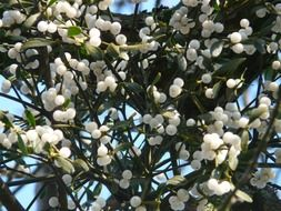 bottom view on the berries of the mistletoe