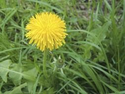yellow dandelion on green grass
