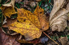 yellow spotted autumn maple leaf