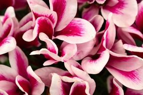 pink cyclamen flower close-up