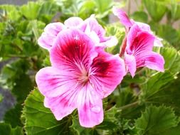light purple flowers on the bush Geranium