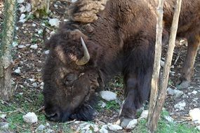 Bison in a natural environment