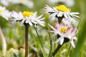 white flowering daisies in the field