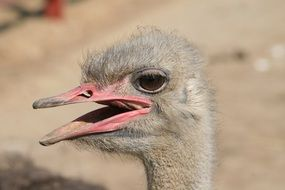 head of young ostrich