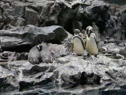 penguins on gray rocks