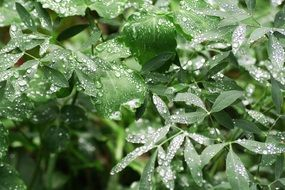 rain drop on green leaves, macro