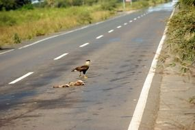 road vulture carcass