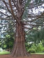 branchy old sequoia in the park