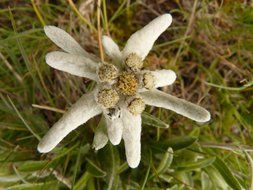 white edelweiss top view