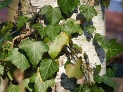 close-up photo of green climbing plants on a birch