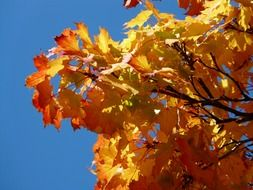 vivid maple leaves against the blue autumn sky