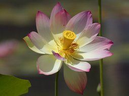 pale flower of a lotus close up