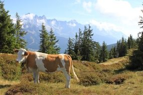 cow on a pasture in the mountains of austria