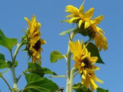 bottom view of sunflowers on stems against a blue sky
